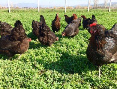 Koçoğlu Tavukçuluk'tan Ataks Tavuklarının Verim İncelemesi
